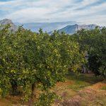 Huertos de naranjos en Alzira (foto Pep Pelechà).