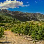 Melocotoneros en el fondo de la Vall d'Albaida (foto Miquel Francés).