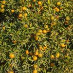 Naranjos (foto Pep Pelechà).