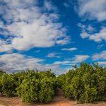 Naranjos en Betxí (foto Pep Pelechà).