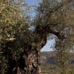 Olivos del Alta Mestrat (foto Adela Talavera).