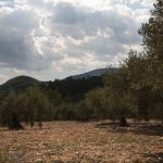 Olivos cerca de Bicorp hacia el río Fraile (foto Adela Talavera).