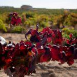 Tierras del vino de Requena-Utiel