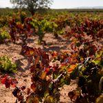 Detalle de viñedos (foto Adela Talavera).