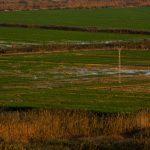 Cultivo del arroz en la marjal de Pego-Oliva (foto Miguel Lorenzo).