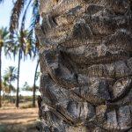 Detalle del tronco de una palmera (Miguel Lorenzo).