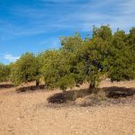 Campos destinados al cultivo del algarrobo, Olocau (foto Pep Pelechà).