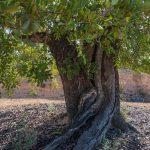 Detalle del tronco del algarrobo, Olocau (foto Pep Pelechà).