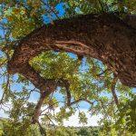 Detalle de una rama de algarrobo, Olocau (foto Pep Pelechà).