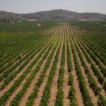 Els paisatges vitícoles de l'Alt i Mitjà Vinalopó